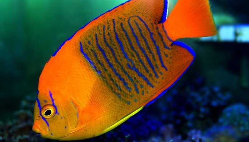clarion-angelfish