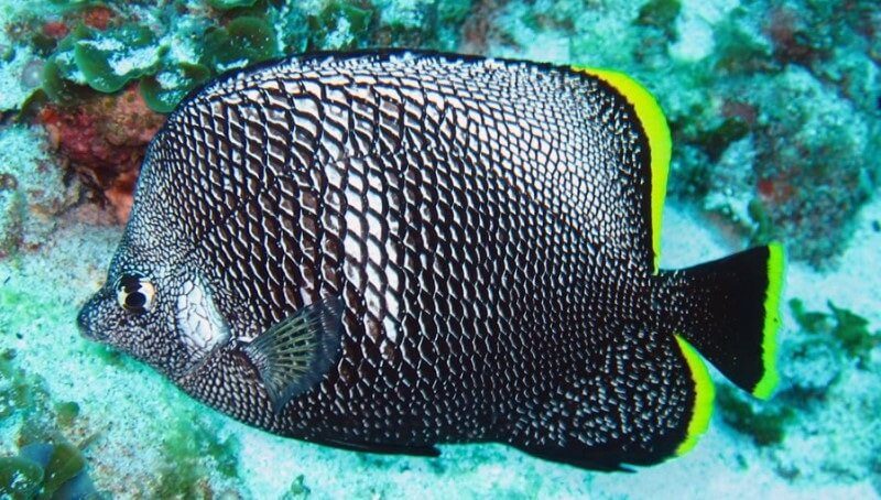 wrought-iron-butterflyfish