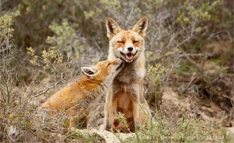 raposa fazendo carinho
