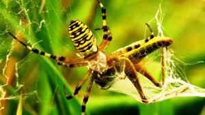 veneno de aranha