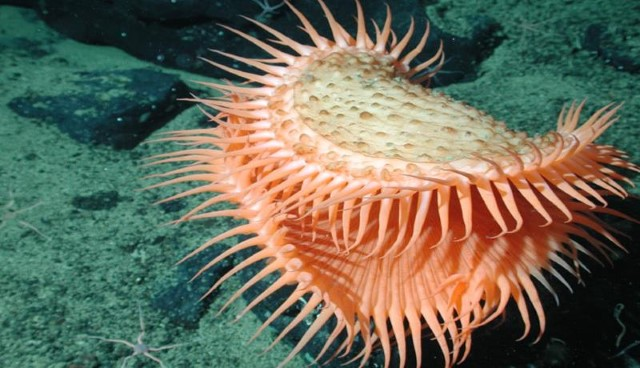Criaturas do mar Venus Flytrap Anemona de mar
